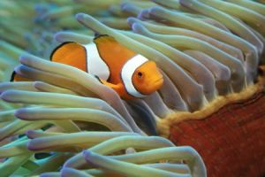 australien queensland great barrier reef clownfisch