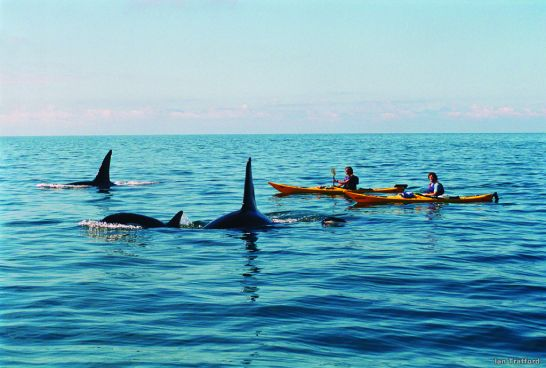 Kayaking with orca